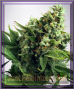 Ministry of Cannabis Auto White Widow Female Ganja Seeds
